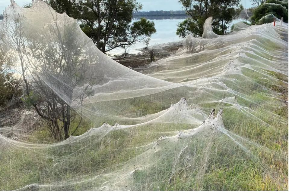 VIDEO: Massive spider webs blanket Australia's state of Victoria